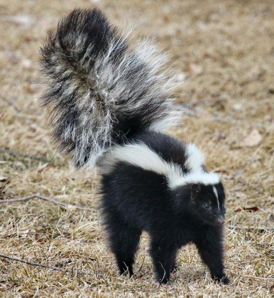 A Michigan man attempting to use a smoke bomb to get rid of skunks in his crawlspace accidentally burned down his house. Photo by skeeze/Pixabay.com