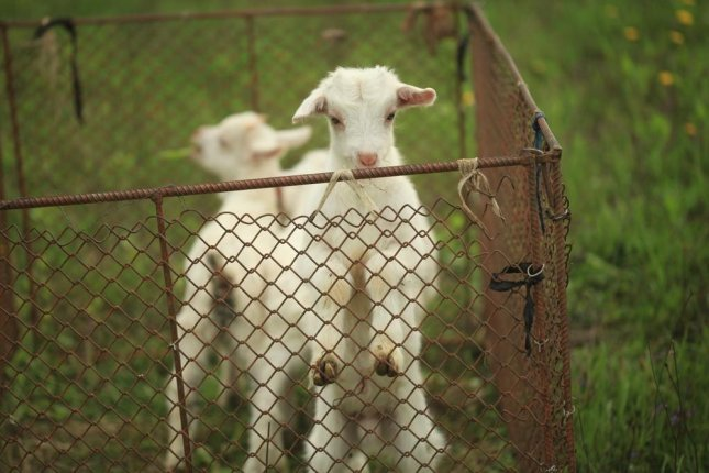 A Virginia farm is seeking volunteers to care for its baby goats by bottle-feeding them and keeping them warm.  Photo By olena2552/Shutterstock