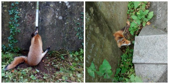 A fox at a British cemetery disproves the stereotype that members of its species are clever. Photo courtesy of the RSPCA