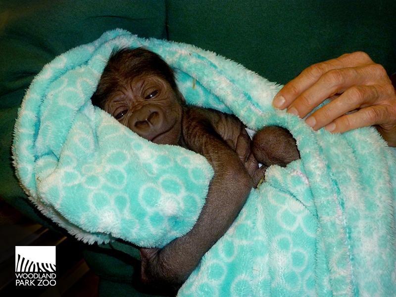 Seattle's newborn gorilla 'flourishing' despite mother's neglect