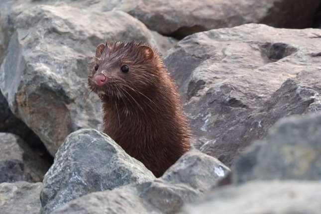 Staff at the Natomas Basin Conservancy spotted an uncommon visitor when a mink poked its head out from a rock formation. Photo by The Natomas Basin Conservancy/Facebook