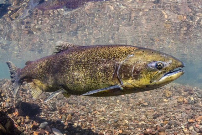The abidance of big, old Chinook salmon is decreasing, new research shows. Photo by Morgan Bond/UW