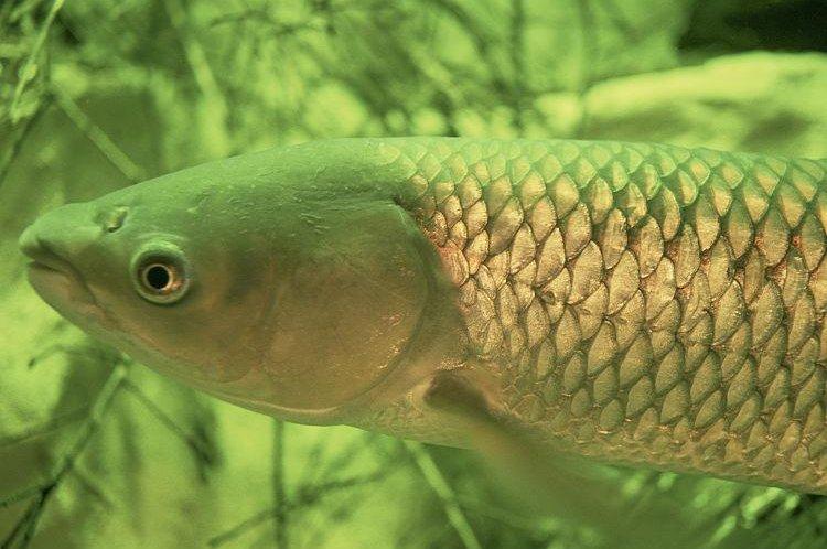A grass carp. (CC/Eric Engbretson)