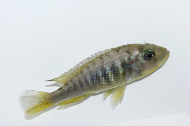Scientists caught a hybrid cichlid fish selfing. Photo by Ola Svensson/Royal Society Open Science