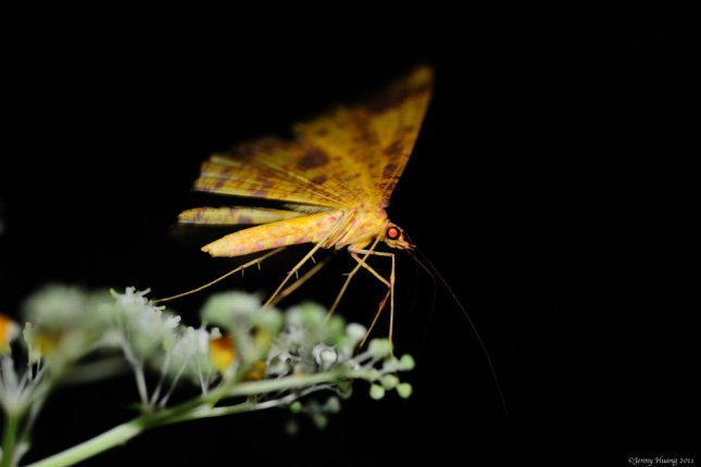 New research suggests moths are an underappreciated pollinator, and that their pollination services decline in the wake of wildfires. Photo by Jenny/Flickr