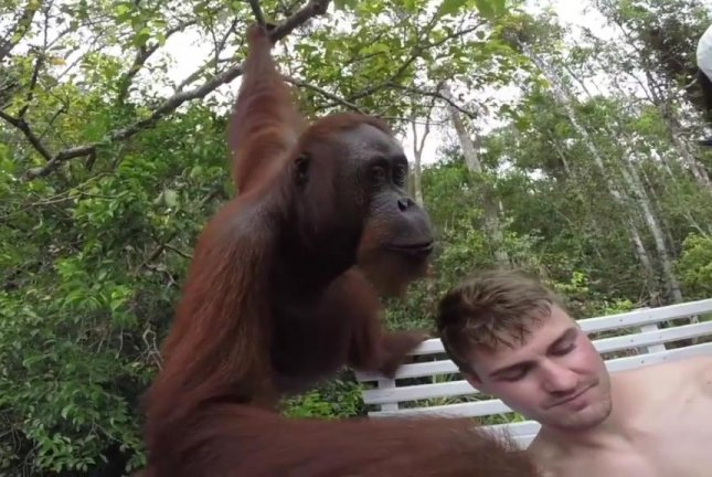 This orangutan is about to show its lack of enthusiasm for selfie-taking. Screenshot: Newsflare