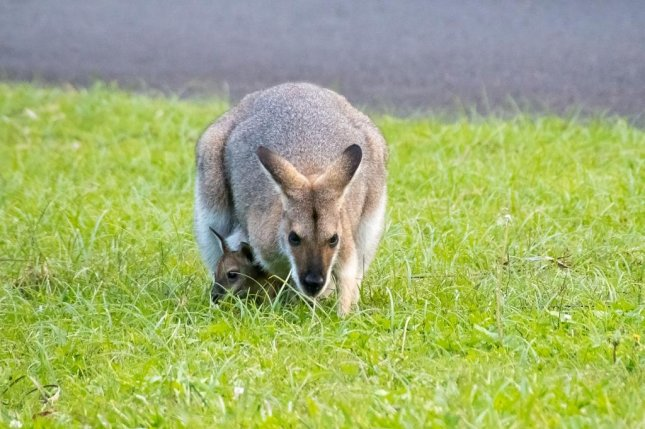Farm Reveals Escaped Wallaby Spotted In Village Is One Of Two Upi Com