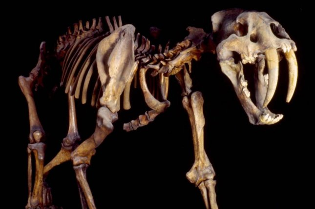 The skeleton of a saber-toothed cat. New research likens the hunting behavior of the feline to Africa's lions. Photo by Senckenberg Natural History Museum/Tubingen University