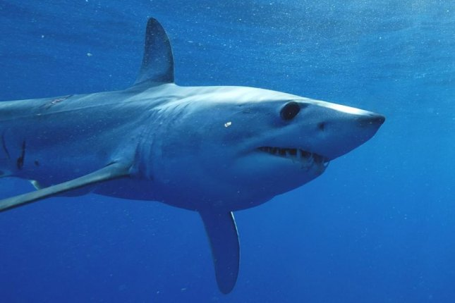 A tagged mako shark named Hell's Bay traveled 13,000 miles in 600 days. The mako shark is one of the fastest large predators in the sea. Photo by Guy Harvey Ocean Foundation