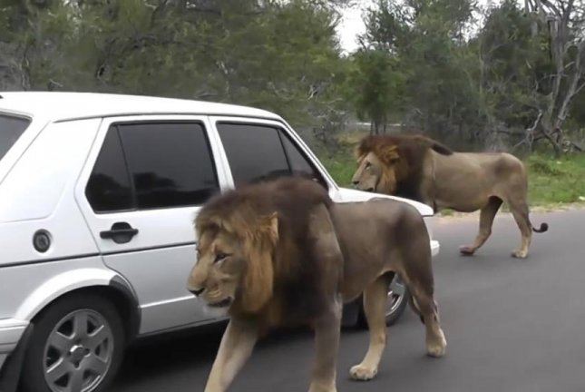 Lions walk through cars on a road through South Africa's Kruger National Park. Screenshot: Newsflare