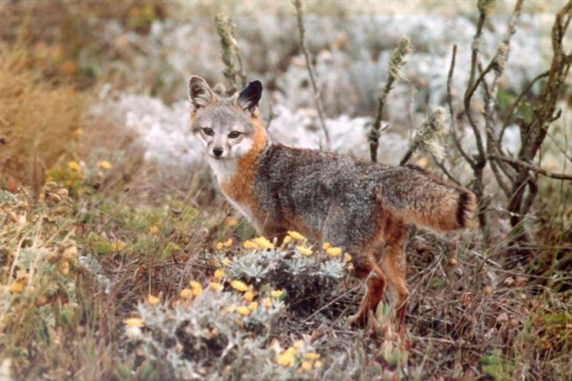 The Island fox (Urocyon littoralis) forages for small rodents, lizards and fruit on the Channel Islands of California. Photo by National Park Service/Department of Interior