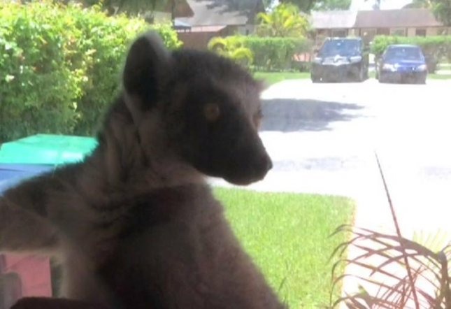 A lemur, which potentially escaped from a nearby home, attacked a 21-year-old woman in Florida as she was leaving her home. Victoria Valledor suffered several injuries after she was repeatedly bitten by the lemur, Florida Fish and Wildlife Conservation Commission officials said residents in the areas are allowed to keep the animals as pets and the incident is being investigated. Screen capture/CBS Miami/Inform Inc.
