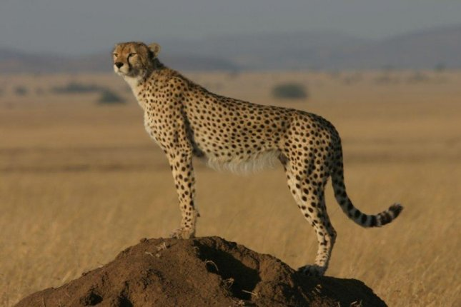 Report: Cheetahs running out of space, vulnerable to