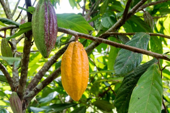 Cocoa pods on a cacao tree in Mindo, Ecuador. New research suggests the cacao tree is 10 million years old. Photo by Jess Kraft/Shutterstock