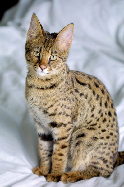 A Bristol, England, woman is asking neighbors to keep an eye out for her escaped Savannah cat, a hybrid of an African serval and a domestic cat. Photo by skeeze/Pixabay.com