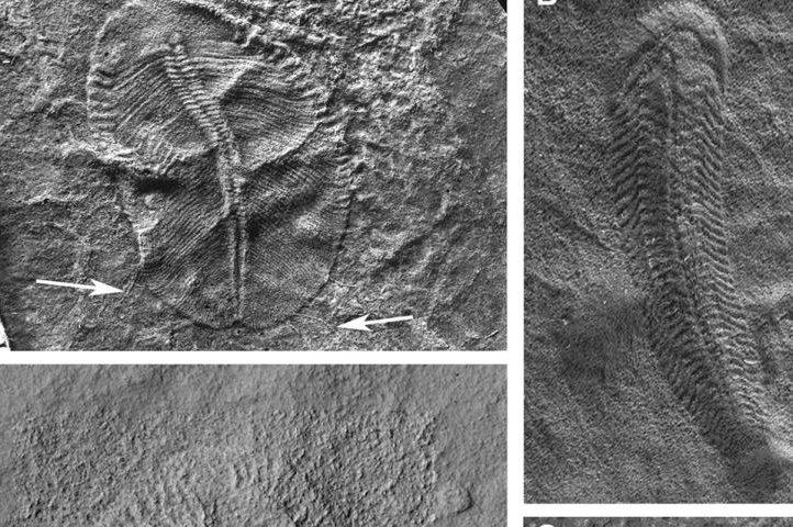 Ediacaran biota fossils. Photos courtesy of Uppsala University
