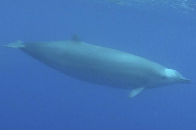 New research suggests the dives of beaked whales are highly synchronized and designed to avoid predation by killer whales. Photo by Roland Edler/Wikimedia Commons