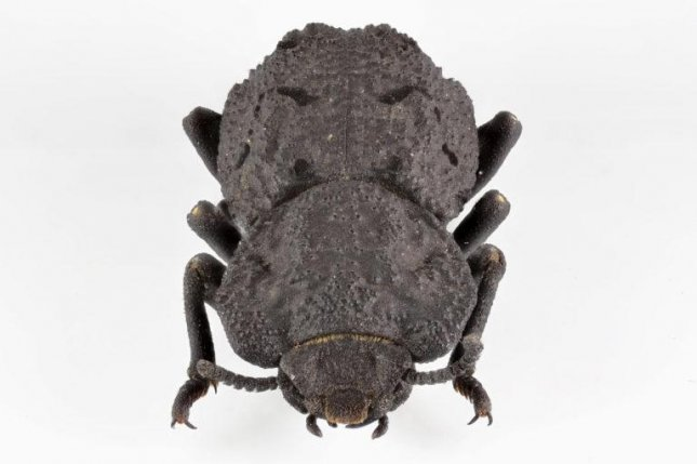 diabolical ironclad beetles - photo #10