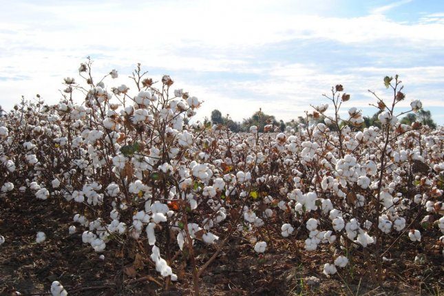 Cotton futures have fallen below the break-even point for American farmers. Photo by Pixabay