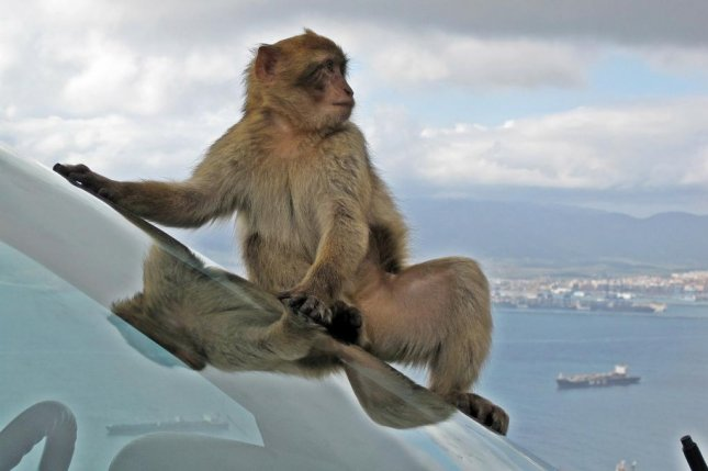 Police inFreiburg, Germany, said 20 to 25 Barbary macaque monkeys escaped from a zoo inLoffingen during a construction project Thursday. Photo by12019/Pixabay.com