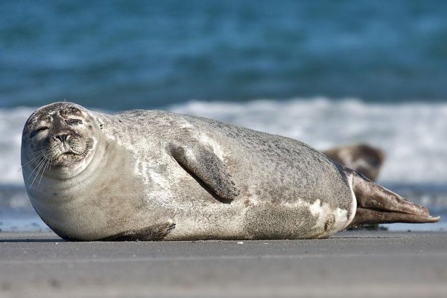 New research suggests seals have taken to stalking the waters near offshore wind farm turbines, looking for prey. (CC/Andreas Trepte)
