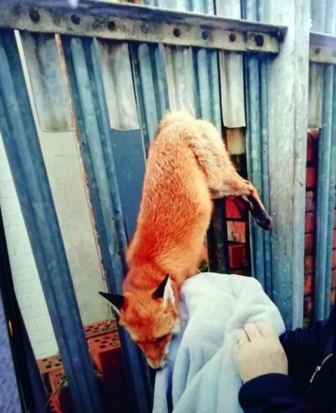 Firefighters came to the assistance of animal rescuers in Britain when a fox was found with its tail stuck in a metal fence. Photo courtesy of the Weston-super-Mare Fire Station