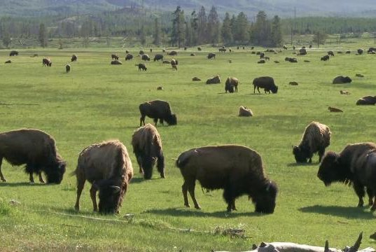 Montana state wildlife officials approved a plan that might allow bison to be categorized as wildlife outside of Yellowstone National Park. Photo courtesy of the National Park Service