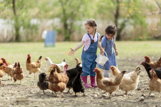 While there's nothing wrong with keeping backyard chickens, either as pets or for food, CDC researchers say improper handling of the birds -- including kissing, snuggling and allowing them into the house -- is contributing to significant increases in salmonella outbreaks in recent years. Photo by Goran Bogicevic/Shutterstock