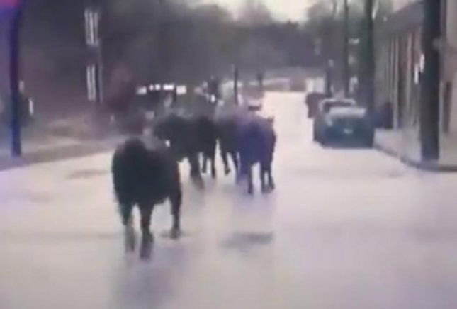 A group of six cattle escaped from a slaughterhouse in Missouri and sprinted through the streets of a St. Louis neighborhood for four hours before being captured. Screen capture/St. Louis, MO Police/Twitter