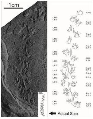 Smallest dinosaur trackway. Credit: Image courtesy of Taylor & Francis
