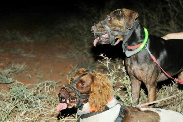 Dog duo Sally and Brangul prepare to chase some cats. Photo by Wayne Lawler/AWC