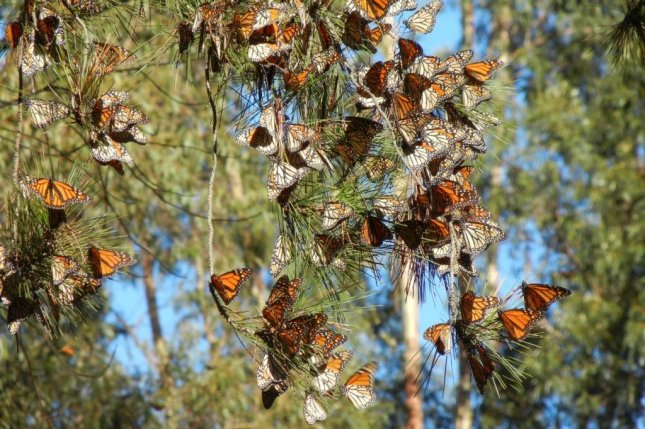 A new study finds monarch butterfly populations from western North America have declined far more dramatically than was previously known and face a greater risk of extinction than eastern monarchs. Photo by Candace Fallon