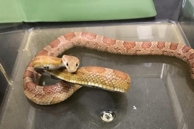 A corn snake was found curled up for warmth under the hood of a Walsh taxi driver's vehicle. Photo courtesy of the RSPCA