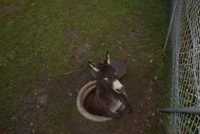 Swiss firefighters pull donkey from manhole