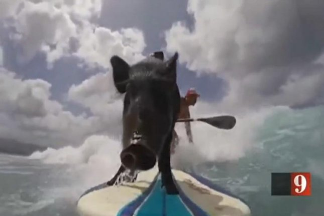 Kama 3, a third-generation surfing pig, rides the waves in Hawaii. Screenshot: WFTV