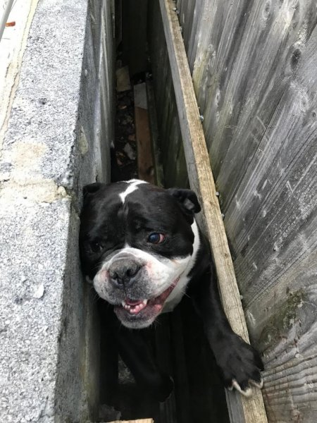 A bulldog was rescued in Wales after becoming stuck between a wall and a fence. Photo courtesy of the RSPCA