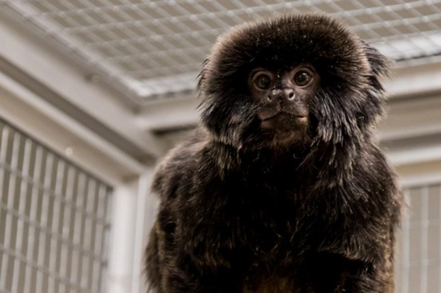 This monkey, a Goeldi's marmoset, was found at a Swedish Mcdonald's hours after being stolen from a science center. Photo courtesy of Universeum