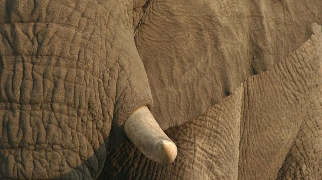 An African elephant close-up. (CC/Birdman1)