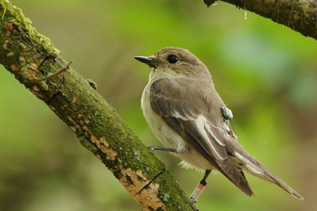 When not hanging out in tropical Africa or flying across the Sahara, the European pied flycatcher spends its time in European forests. Photo by Roef Mulder