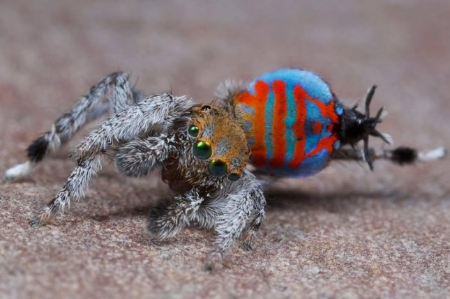 Maratus jactatus, or Sparklemuffin. Photo by Jurgen Otto/Peckhamia