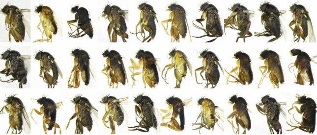 Fly specimens caught during the biodiversity survey in Los Angeles. Photo by Kelsey Bailey/Emily Hartop/NHM
