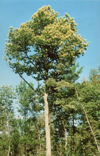 A surviving 85-foot American chestnut tree in Atkinson, Maine. Credit: Eric Evans, The American Chestnut Foundation.