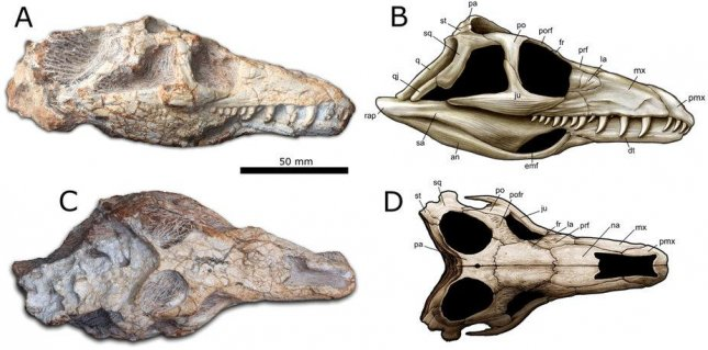 The fossils suggest the ancient reptile had eyes on the top of its skull, similar to modern crocodiles. Photo by Pinheiro et al. and artwork by J. Anderson/Scientific Reports