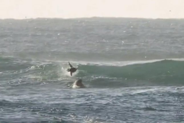 A dolphin about to land on a surfing man in Australia. Screenshot: 9News/Facebook