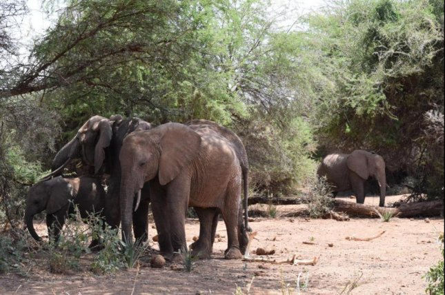 Research shows orphaned elephants spend less time with mature, high-ranking females than their non-orphaned peers. Photo by Shifra Goldenberg/Save the Elephants/Colorado State University