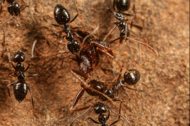 Lepisiota canescens ants rip apart a member of a rival ant species. Photo by D. Magdalena Sorger/North Carolina Museum of Natural Sciences