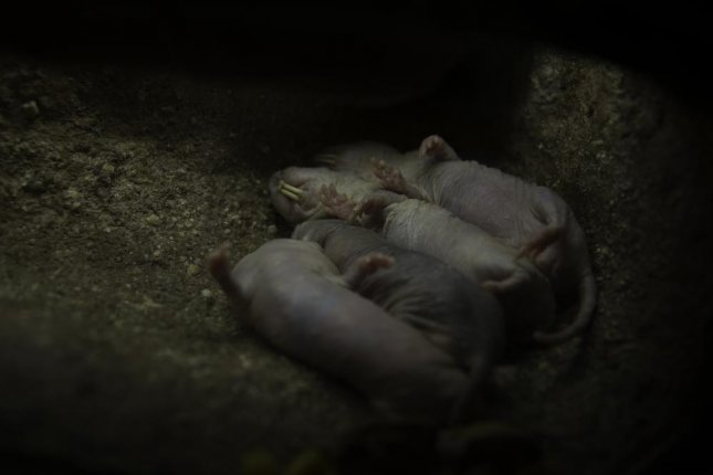 Captured naked mole-rat colonies rarely show cancer symptoms. Photo by bimserd/Shutterstock