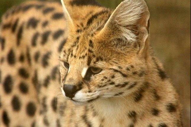 A suspected African serval cat was captured in Florida, and officials are investigating whether it escaped from a licensed owner or if it was an illegal exotic pet. Photo by zoosnow/Pixabay.com