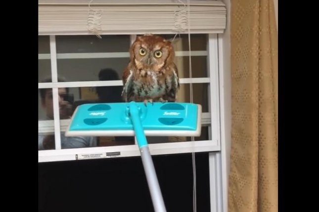 A man uses a Swiffer to lift an owl toward an open window inside his home. Screenshot: Storyful/YouTube