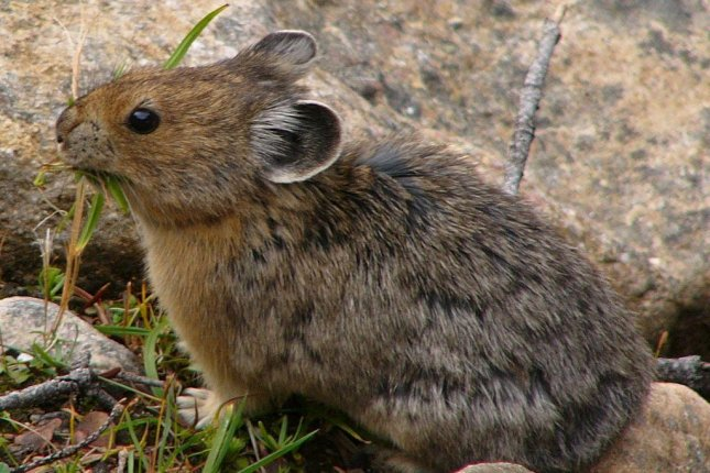 An American pika carries a pile of grass back to its den. Photo by Sevenstar/CC.